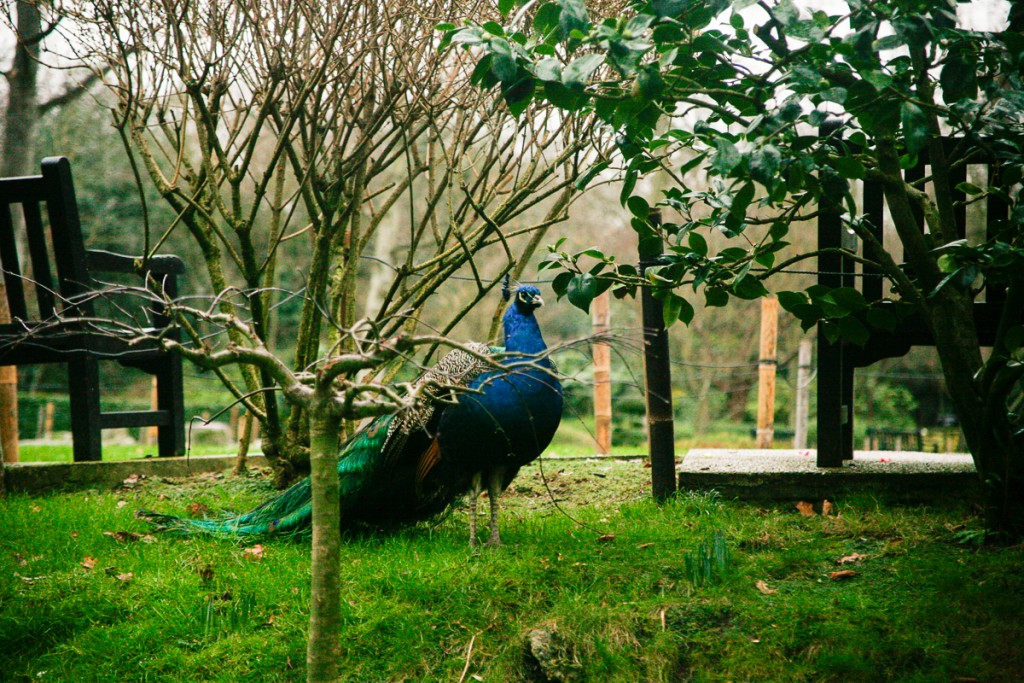 What to do in London - Holland Park Peacock